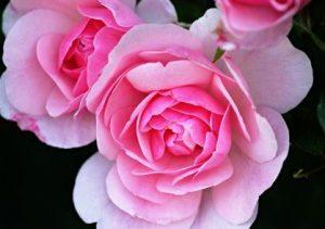 Fragancia de rosa para enamorar