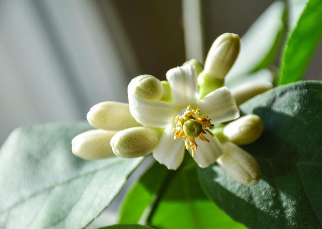 Rituales de Protección con Limón: Flor de limón