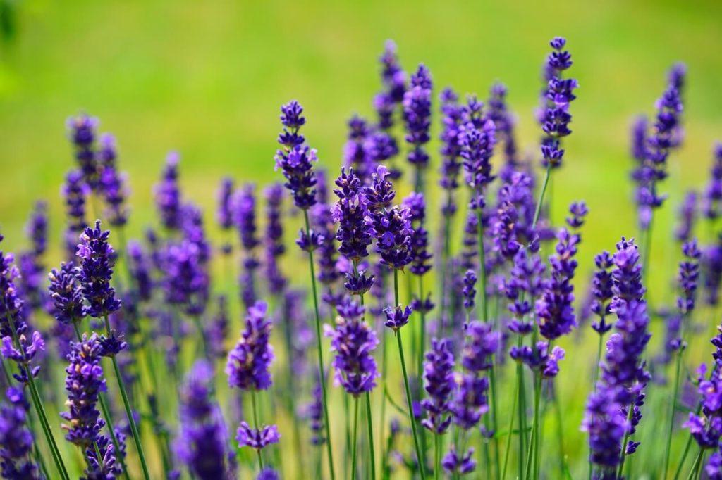 Lavanda y aromaterapia: Usos de las hierbas poderosas aplicadas a la Magia