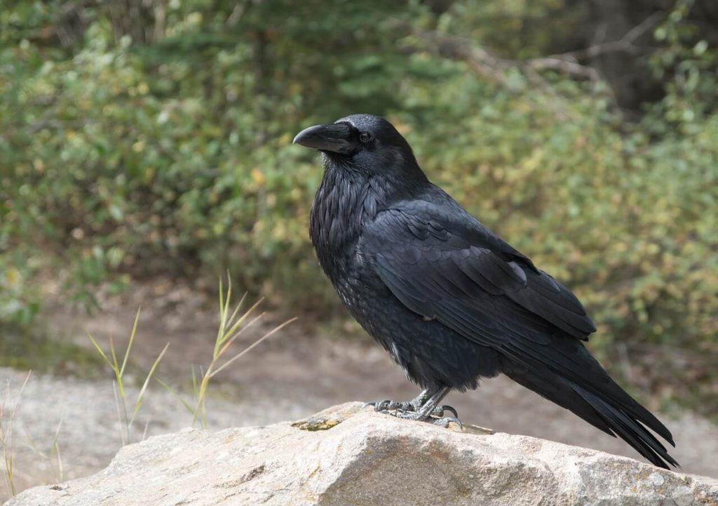 Significado de un Cuervo  en tu camino