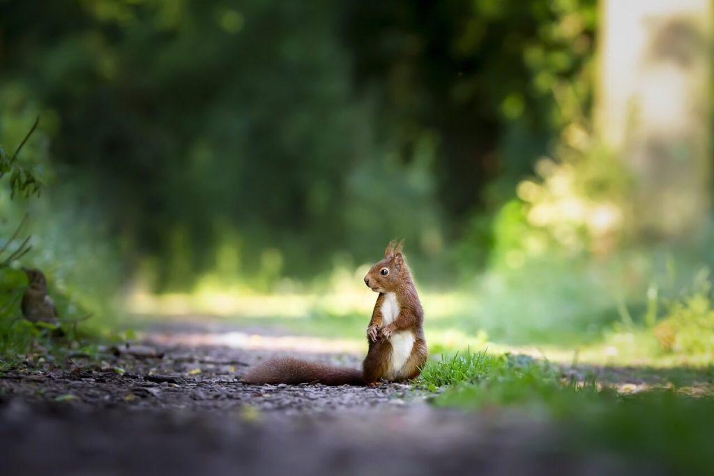 Significado de los animales que se cruzan en tu camino: Ardilla